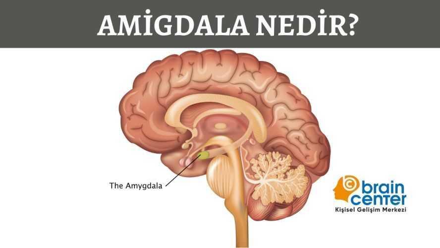 amigdala nedir