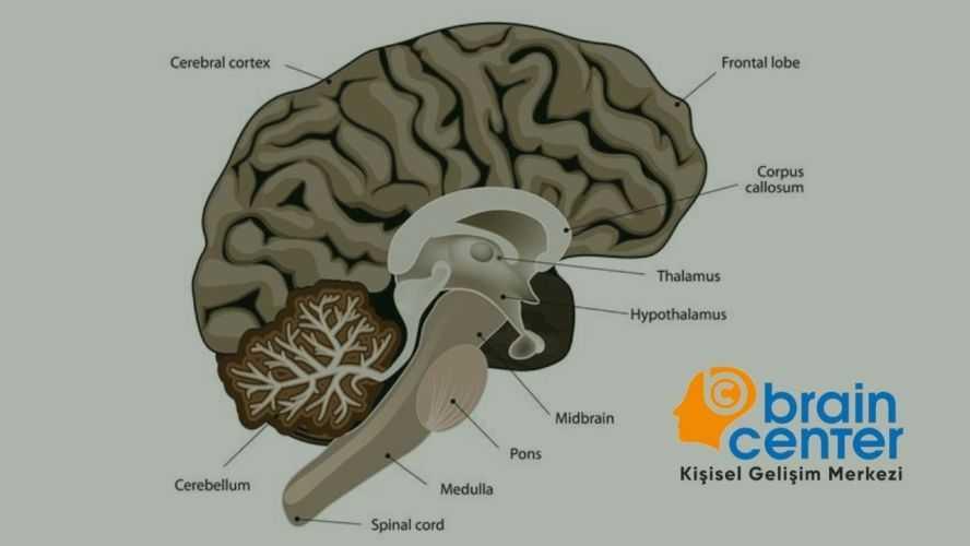 insan beyni parçaları