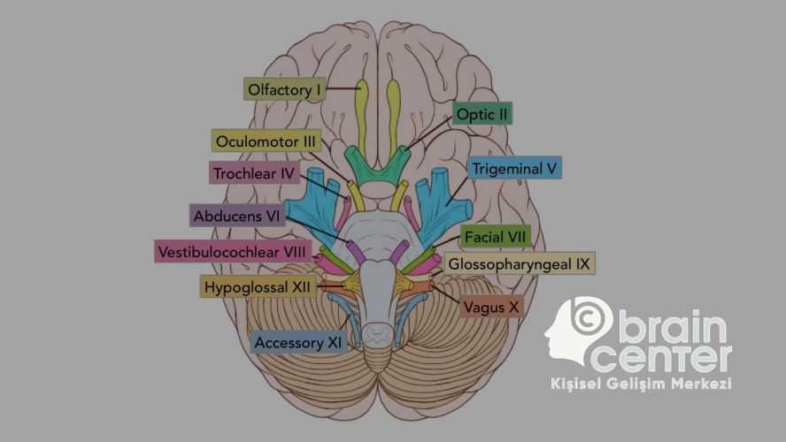 insan beyni sinirler